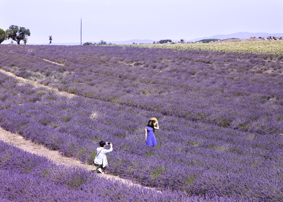 WHEN TO SEE LAVENDER