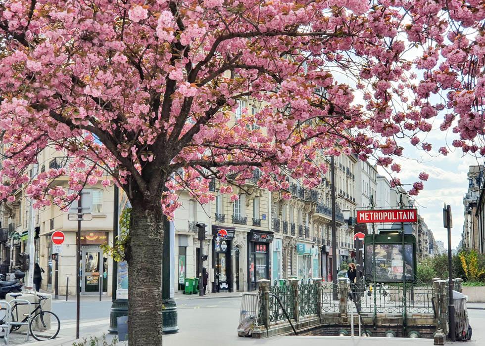 Falguiere - cherry blossom in Paris